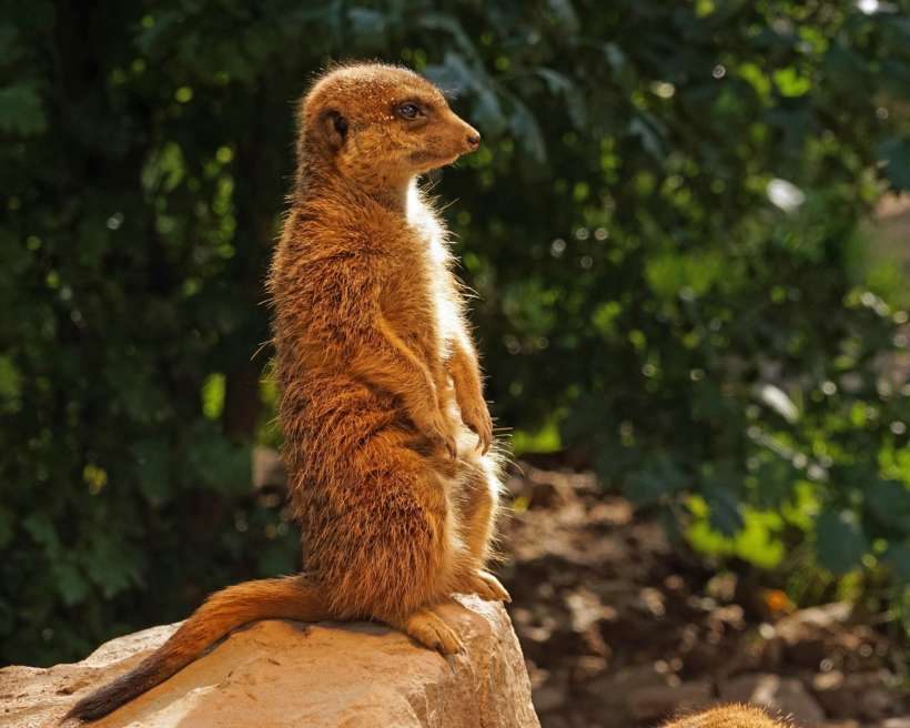 Stay present like the Meerkat on rock